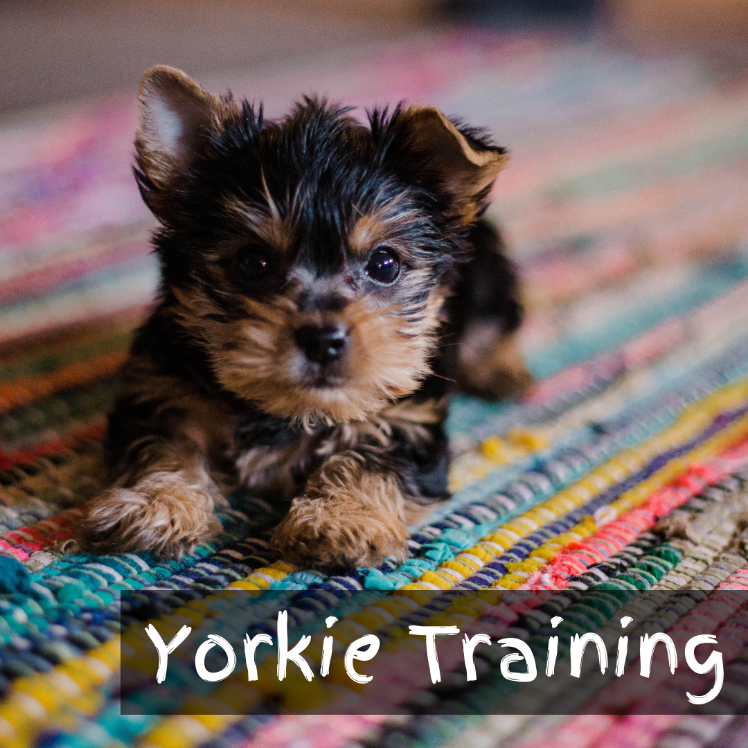 Yorkie Training Education Tips Tricks Baby Animals Pictures