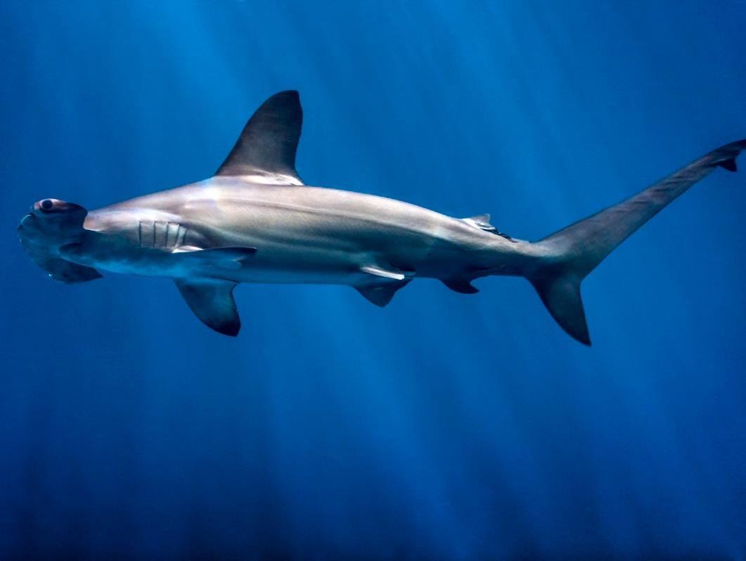 Scalloped Hammerhead Shark (Sphyrna lewini) | Claws \'n Jaws ...