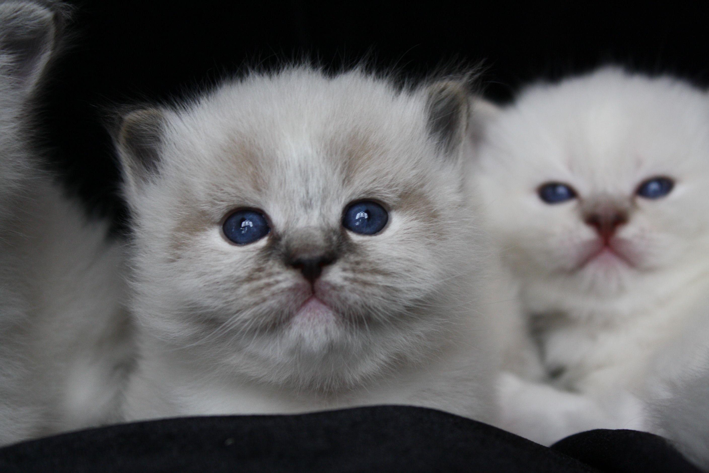 My Little Seal Lynx Mitted Show Kitten She Is 3 Weeks Old Kittens Cutest Kittens Ragdoll Kitten