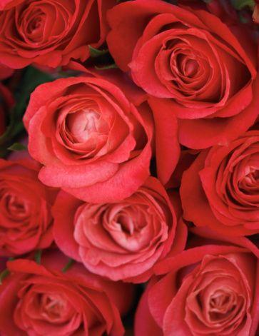 Red Roses:スマホ壁紙