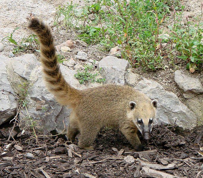 Coatimundi a member of the raccoon family Desert animals