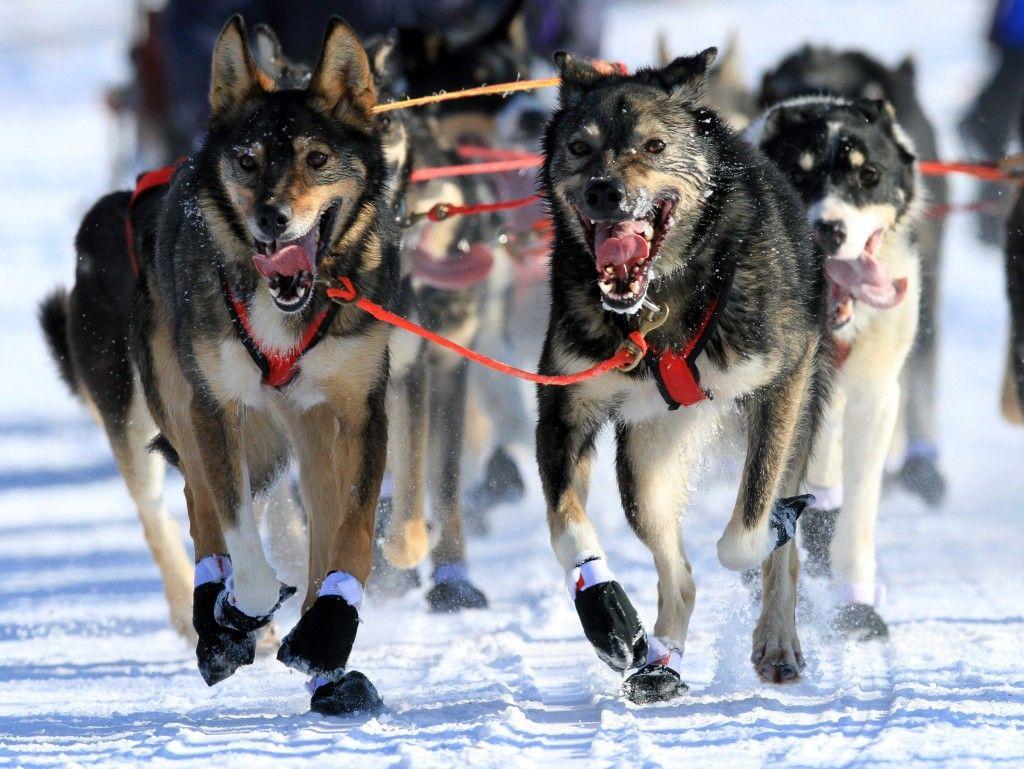10 Adorable Sled Dogs From The Iditarod Dog Sledding Alaska