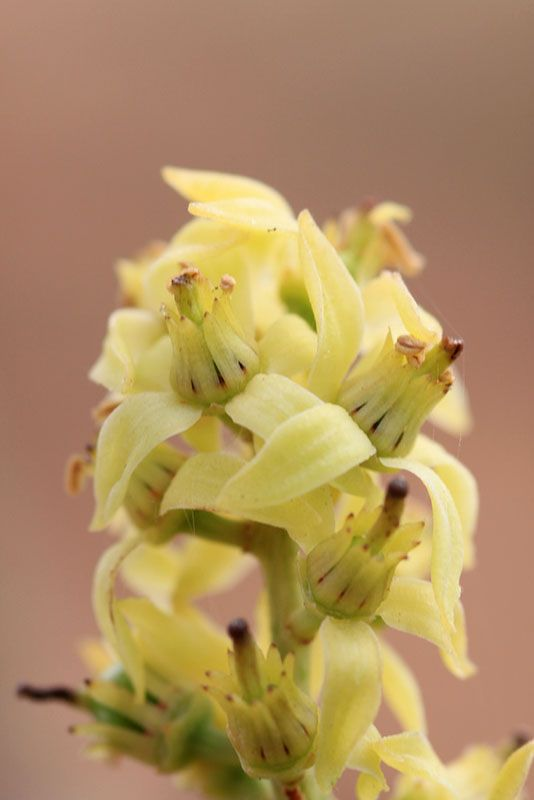 Frankincense Boswellia blossom Young Living Farms: Salalah, Oman