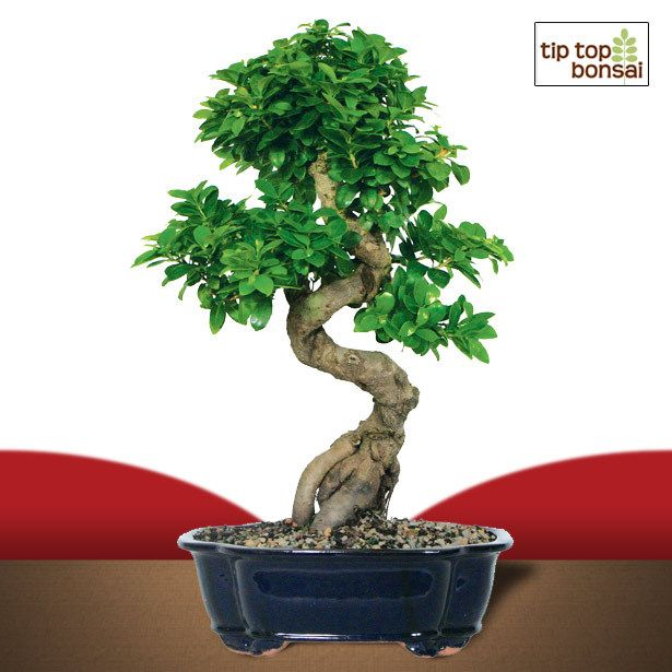 Ginseng Grafted Ficus Bonsai Tree Love The Strong Exposed Roots