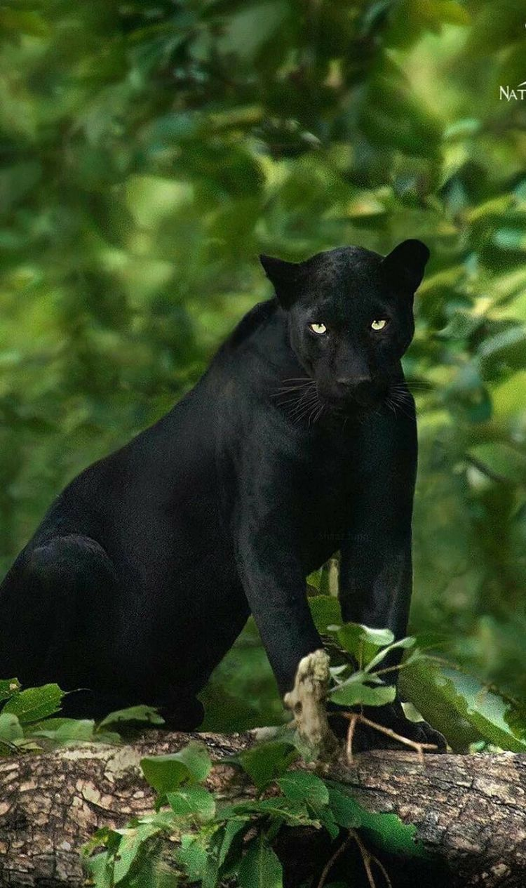 photography animals wildlife Panther, Animals