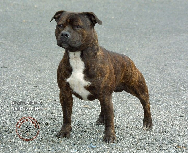 Staffordshire Bull Terrier Which Type Fits Me Better Page 2