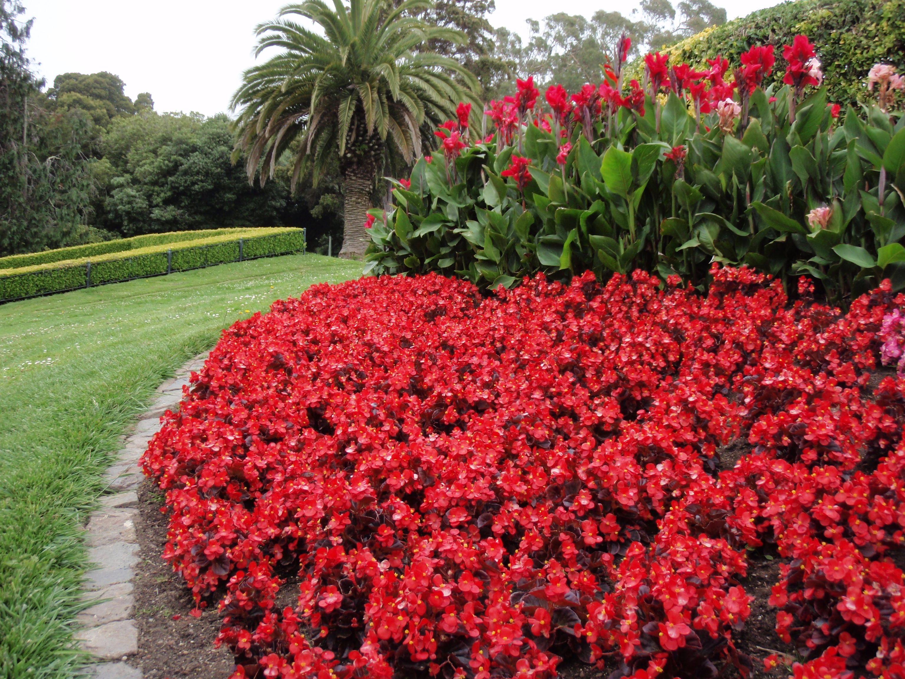 Begonia Semperflorens Wax Begonia Begonia Begonia Annual Bedding Plants Annual Garden
