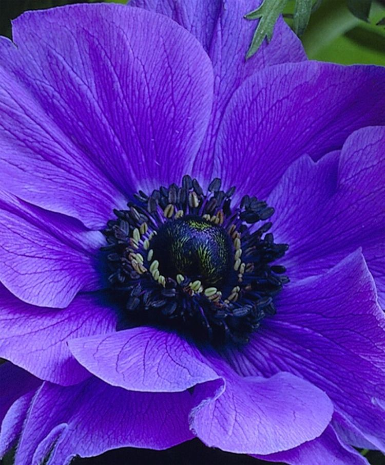 Blue Poppy Anemone Yahoo Search Results Bulb Flowers Purple Garden Anemone