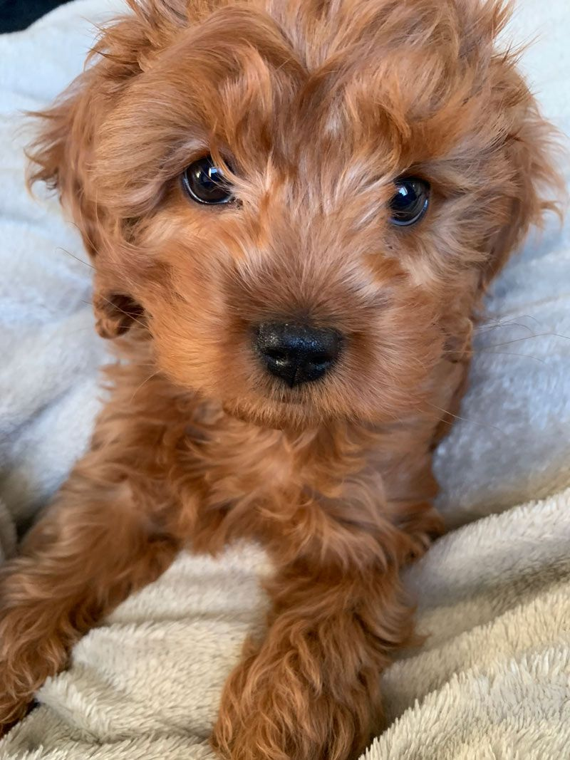 Merlot The Cavoodle From Manchester United Kingdom Cavapoo