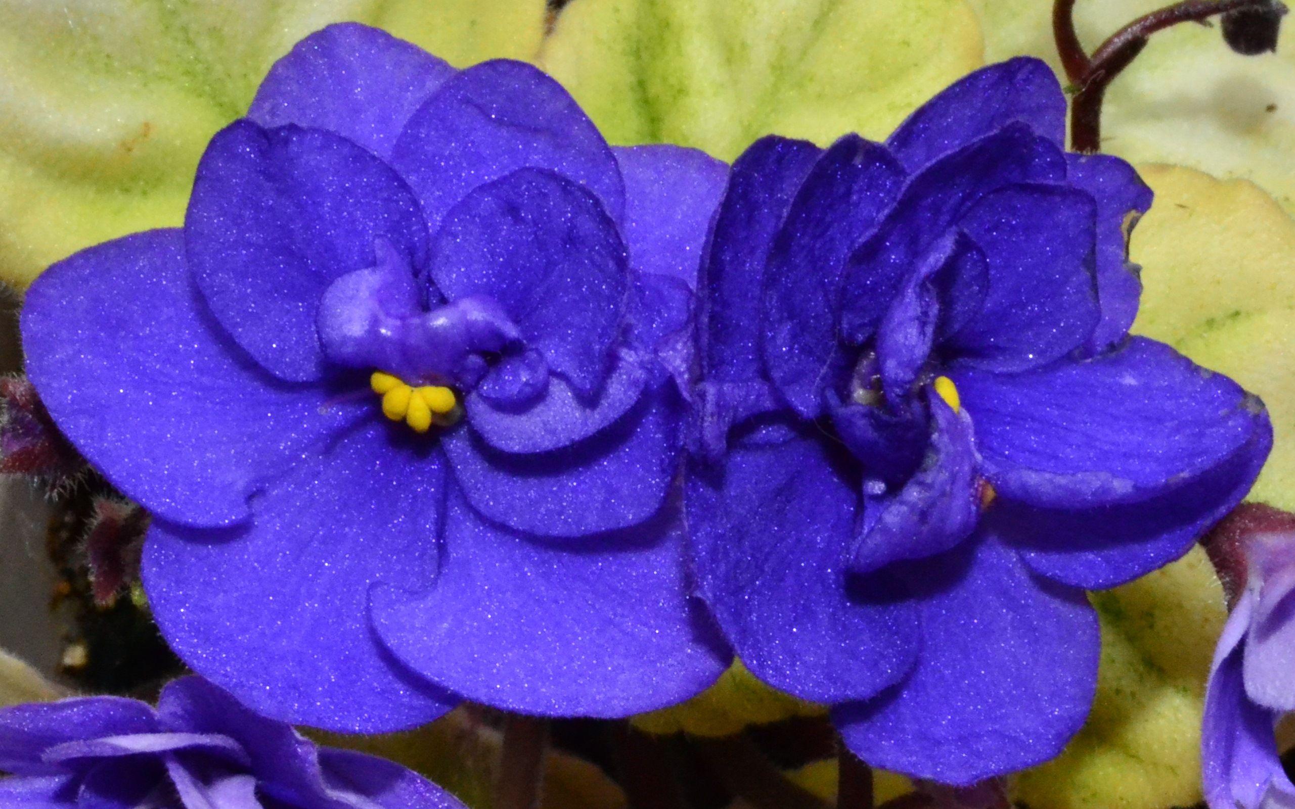 Trinket Summer Skies African Violet Flowers