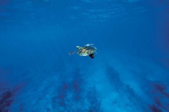 Caribbean Sea - Sea Turtles  jane@worldtravelspecialists.biz