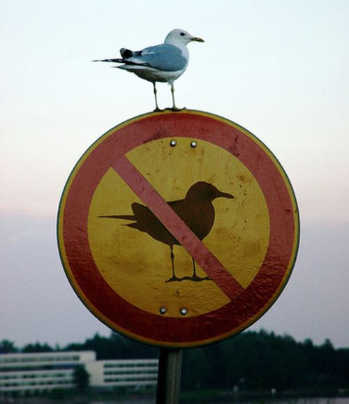 REBEL!!  This seagull seems to have its own personal understanding of human's rules. #funny