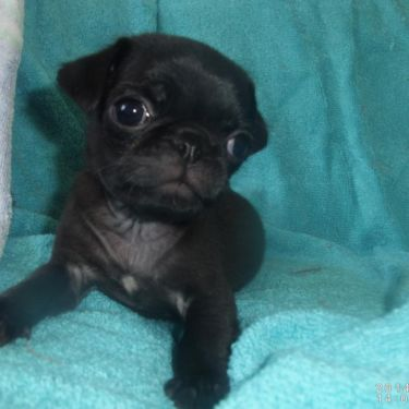 Male Pug Puppy For Sale 800 Pug Puppies For Sale Pug Puppy