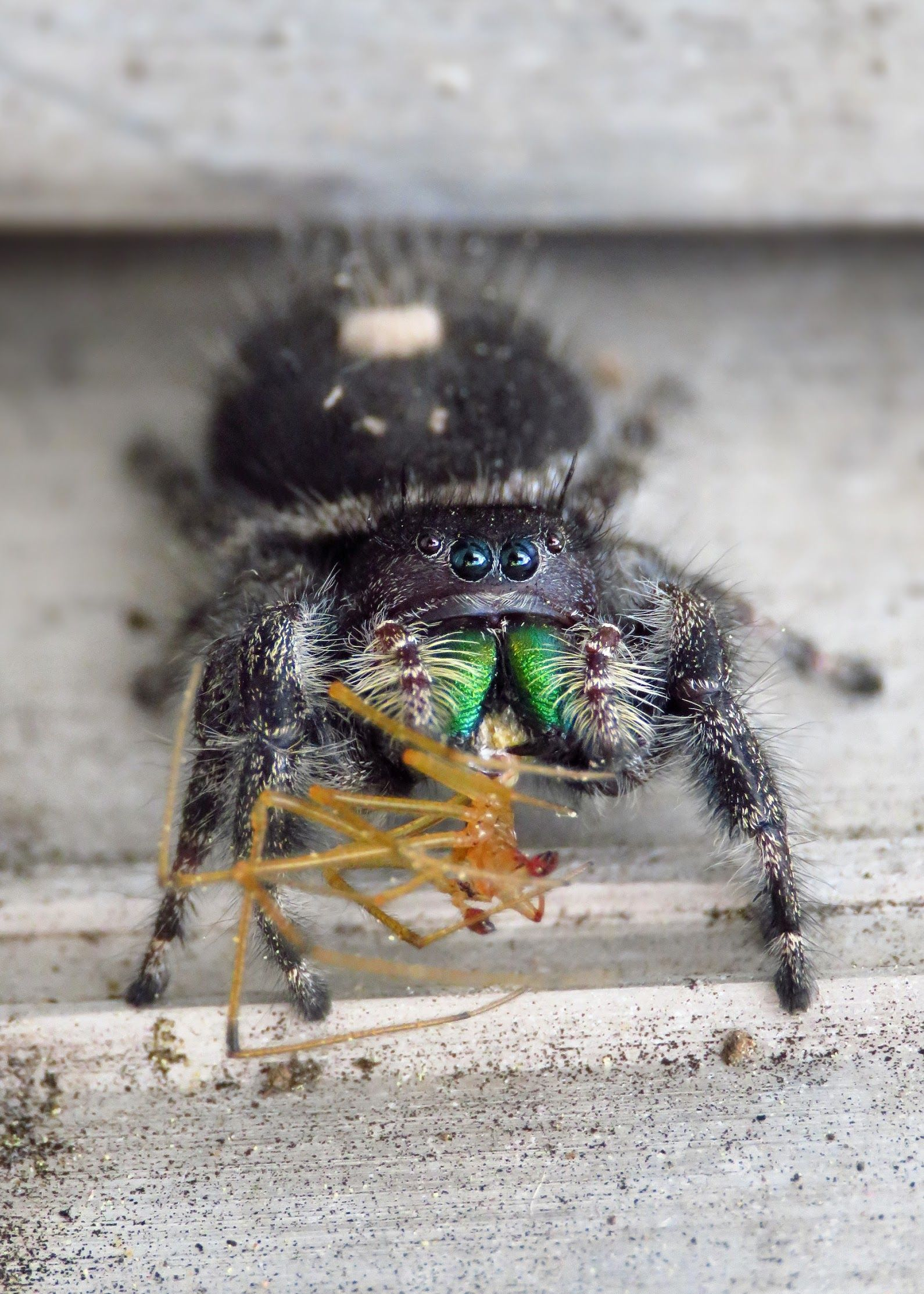Bold Jumping Spider Phidippus Audax This Fierce Little Guy Was