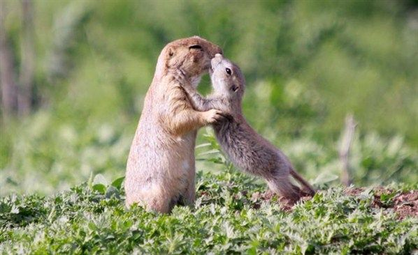 Prairie dog companionship animal hugs and cuddles pinterest prairie dogs greet each other with a kiss found this in mental floss m4hsunfo