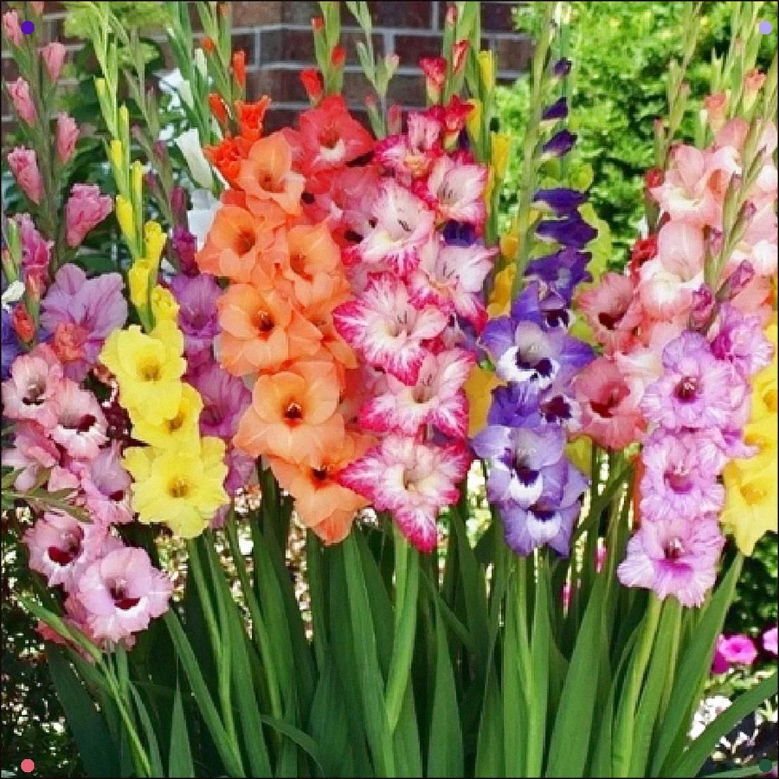 Gladiolus Flower Bulbs Rainbow Mix In 2020 Gladiolus Flower Bulb Flowers Gladiolus