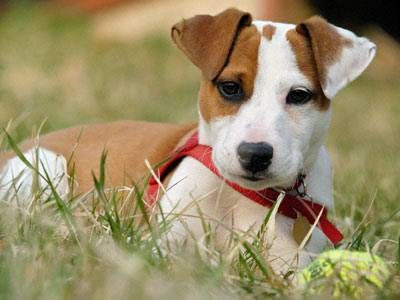 Jack Russell Terrier - very cute - Dogs Picture