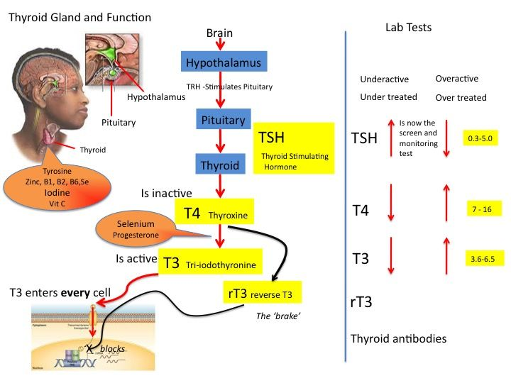 Thyroid Gland Function and Hormones * Check out this . | Thyroid ...