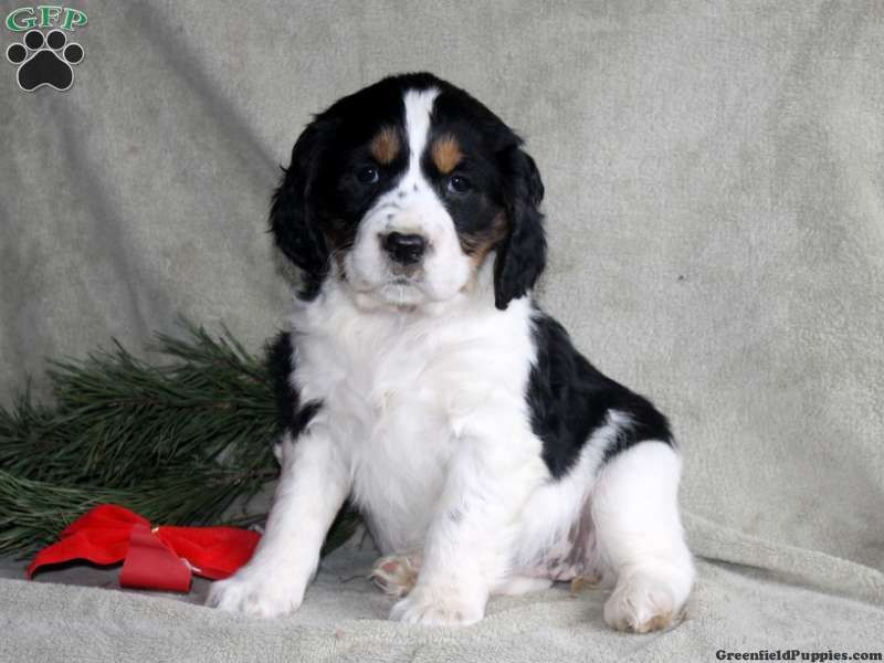 Tracy English Springer Spaniel Puppy For Sale In Pennsylvania Spaniel Puppies For Sale Springer Spaniel Puppies English Springer Spaniel Puppy