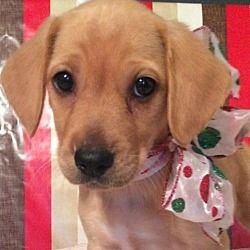 Albany New York Labrador Retriever Meet Jessamy A For