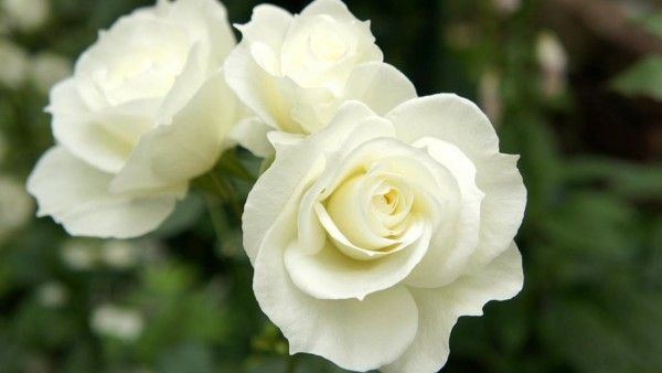 Nature___Flowers_Beautiful_white_roses_in_the_garden_056289_.jpg 600×338 pixels