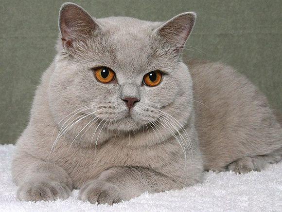 Britanico De Pelo Corto Azul Gatos Pelo Corto Britanico Perro Gato