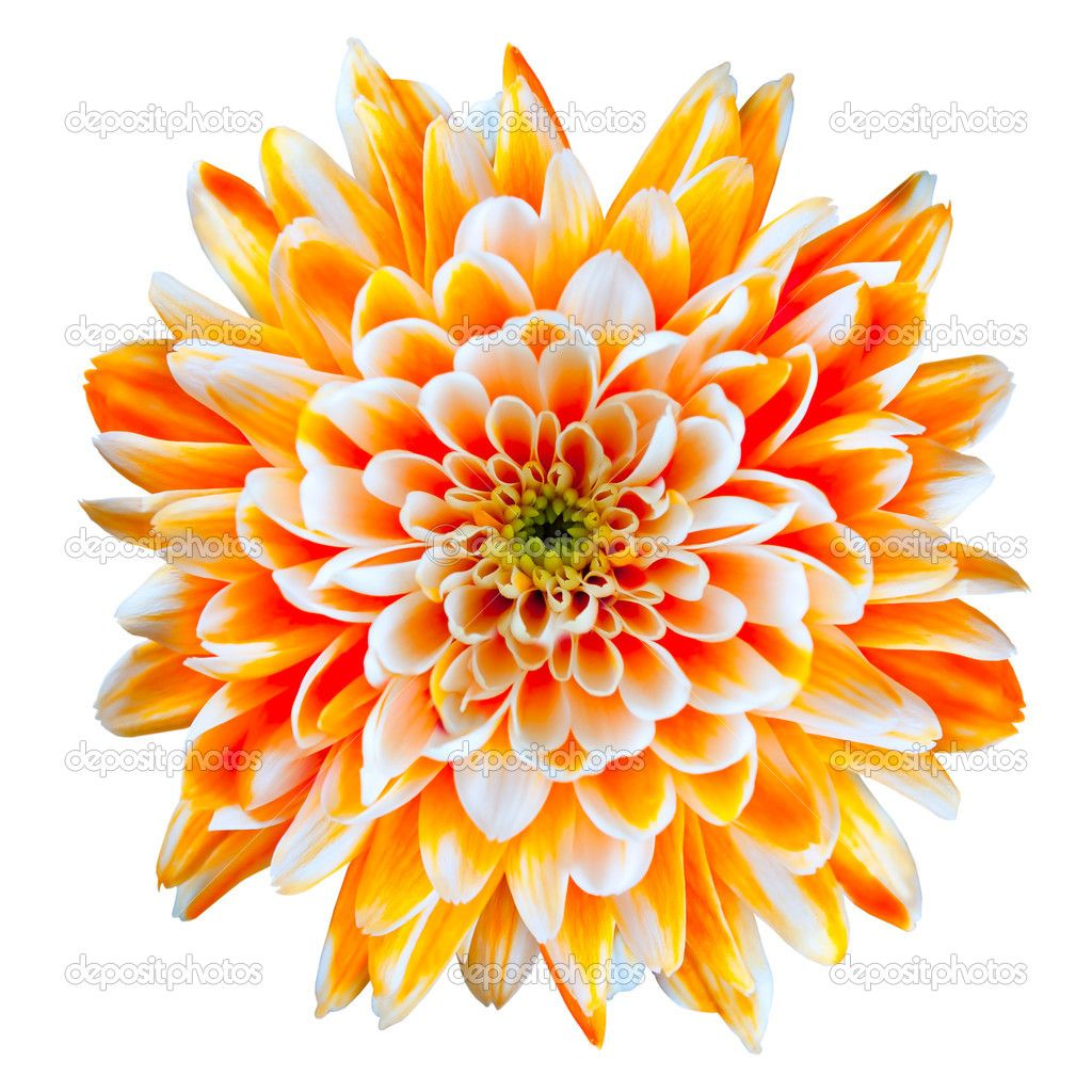 Orange And White Chrysanthemum Flower Isolated On White Chrysanthemum Flower Birth Flower Tattoos Chrysanthemum Flower Pictures