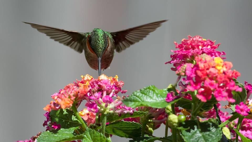 #hummingbird | Bird wallpaper, Hummingbird wallpaper, Bird