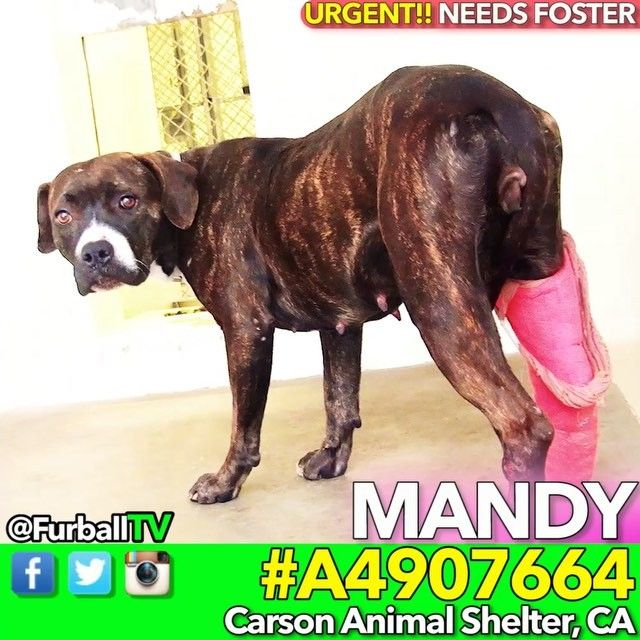 #SaveMANDY - #A4907664 SHY, HURT PREGNANT CUTIE-STRAY-⛔POSSIBLY RESCUE ONLY⛔-QUARANTINEDPREGNANT-DESPERATE FOR FOSTER-❌EXTREMELY URGENT❌-In 37 DAYS on 02/03  O-M-G! Precious little MANDY finds herself in an awful predicament. She's got a broken leg, she's pregnant & she's in the worst place in the world ! Mom's, can you imagine? I'm told she needs a Foster immediately as she's been in 37 DAYS on 2/3 and things are looking grim. MANDY is understandably extra shy - can