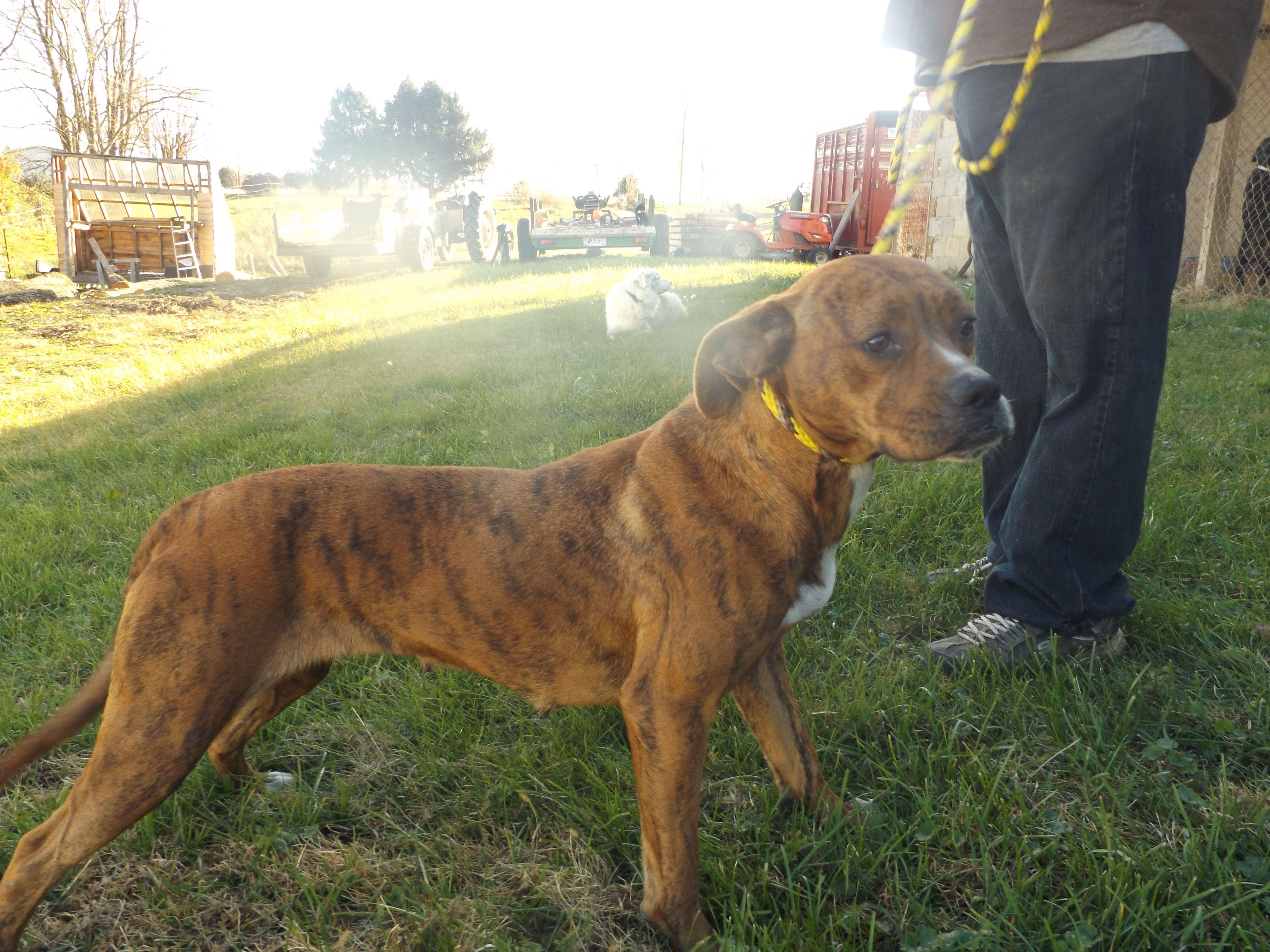 Boxer dog for Adoption in Zaleski, OH. ADN397871 on