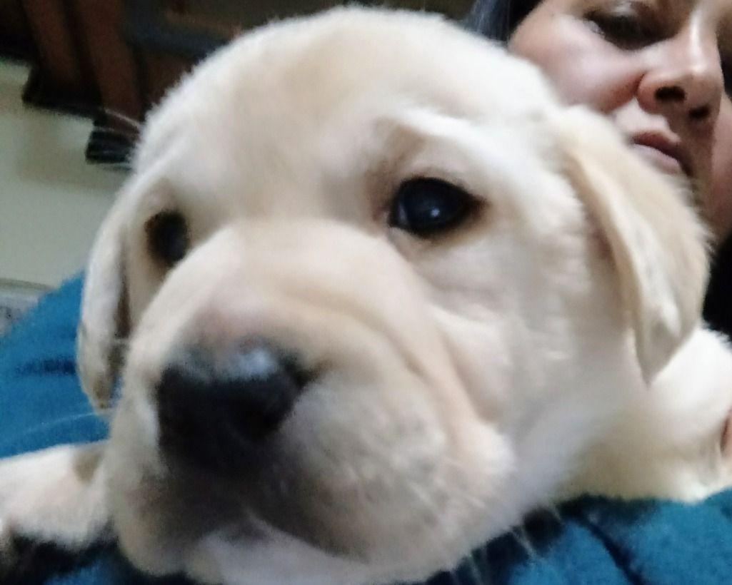 Lecce Pregiati Cuccioli Di Labradorgenitori Visibili Vendita