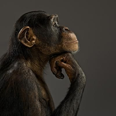 Science: The Last 50 National Institutes of Health Chimpanzees Are Retiring
