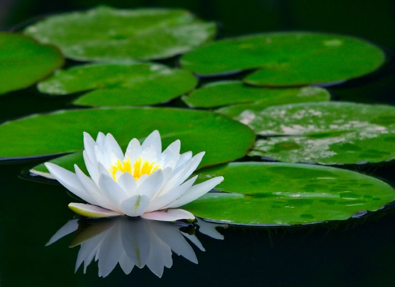 Lotus On Pond Picture Lotus Flower On Pond Image Tattoos