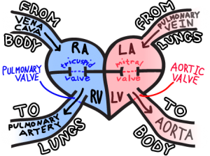 easy way to remember blood flow through the heart #nurse #nursing, Muscles
