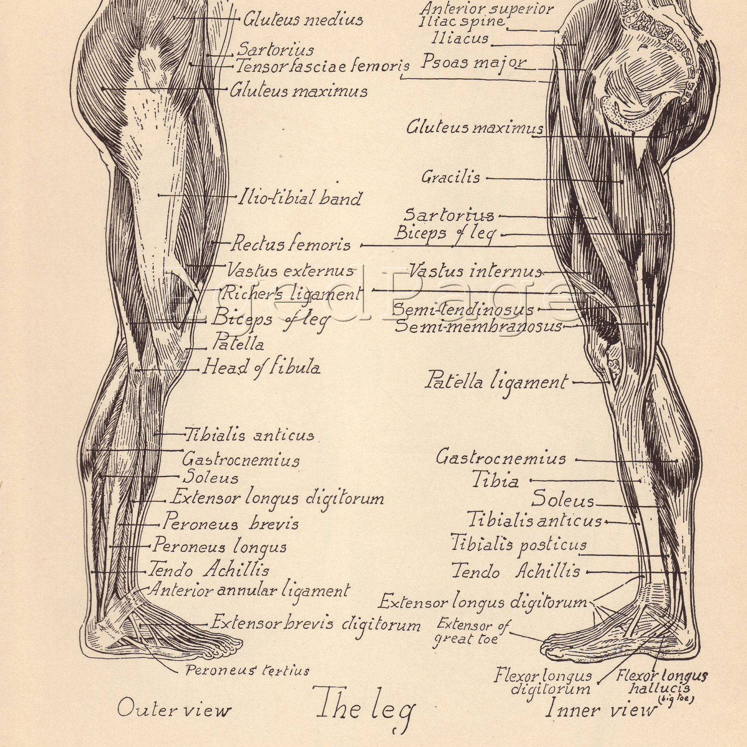 vintage anatomy | Massage | Pinterest | Anatomy, Vintage and Human ...
