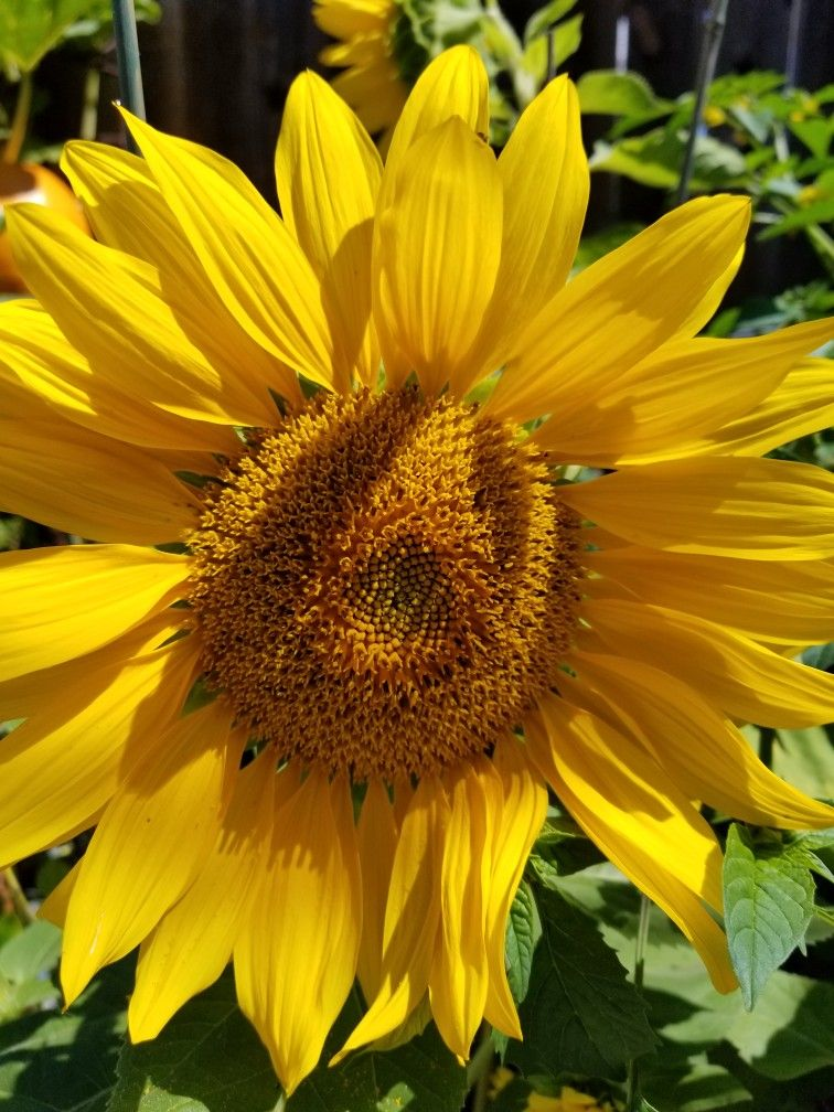 Pin By Diane Patracuola On Sunflowers Sunflower Flowers Plants