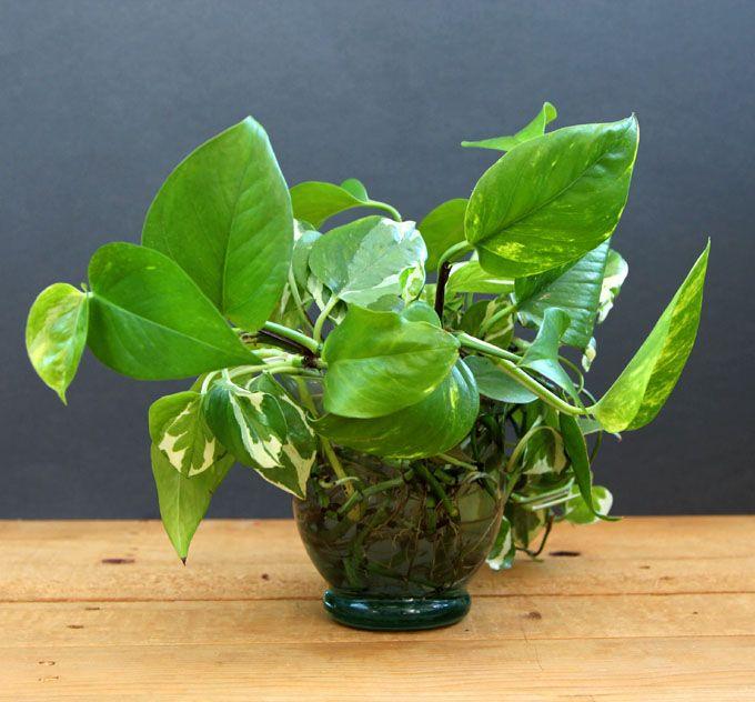 Grow Beautiful Indoor Plants In Water Garden Farming Water Plants Indoor Indoor Plants