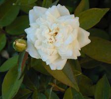 Ducher Chinese Rose, Earth Kind Cultivar