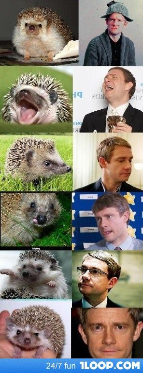 Hedgehogs that look like Martin Freeman