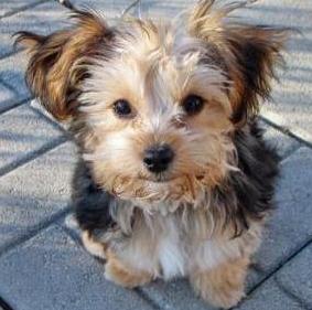 Terrier yorkie mix puppy