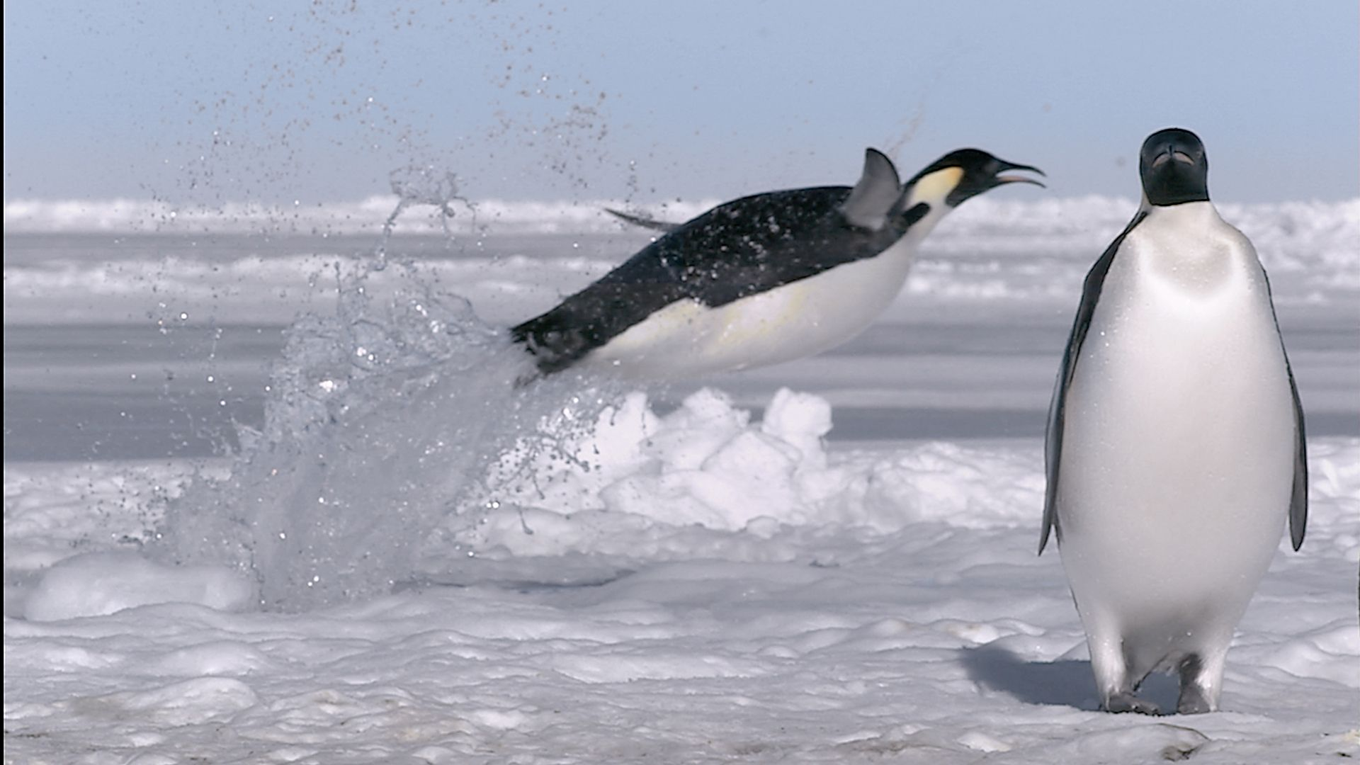 Emperor Penguin Leaps Out Onto Ice Bbc Frozen