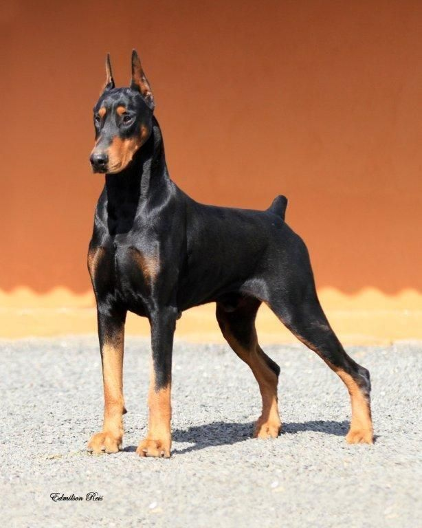 Beautiful Dobie Doberman Pinscher Doberman Pinscher Dog Doberman