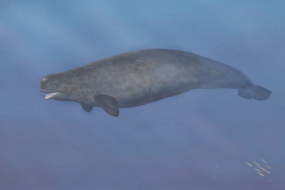 Meet The Narluga Hybrid Son Of A Narwhal Mom And A Beluga Whale Dad Beluga Whale Narwhal Beluga