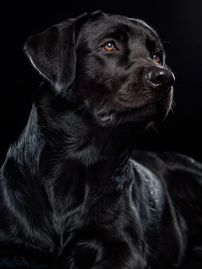 Black By Alexander Heinrichs 500px Hunde Niedliche Hunde Labrador Retrievers