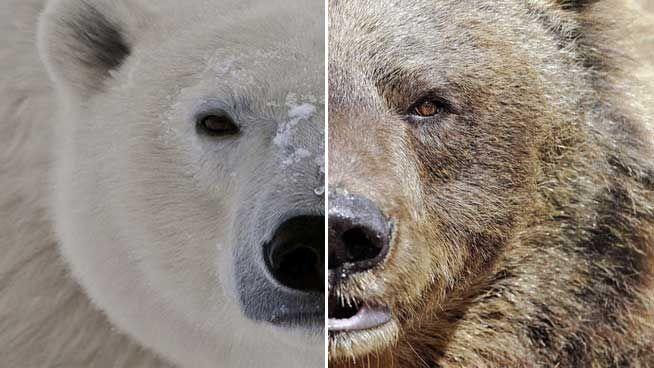 Sabes lo que es un oso 'grolar' (cruce entre oso polar y pardo)?