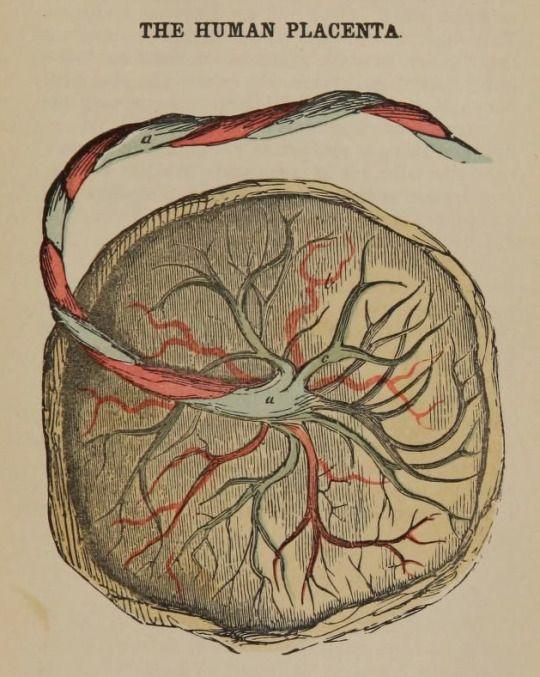 The Human Placenta The Matrons Manual Of Midwifery 1890