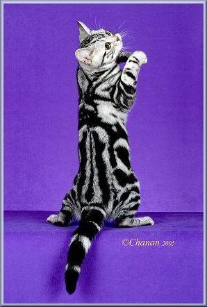 Classic Tabbies Vs Marble Bengals Bengal Cat Beautiful Cats Tabby Cat