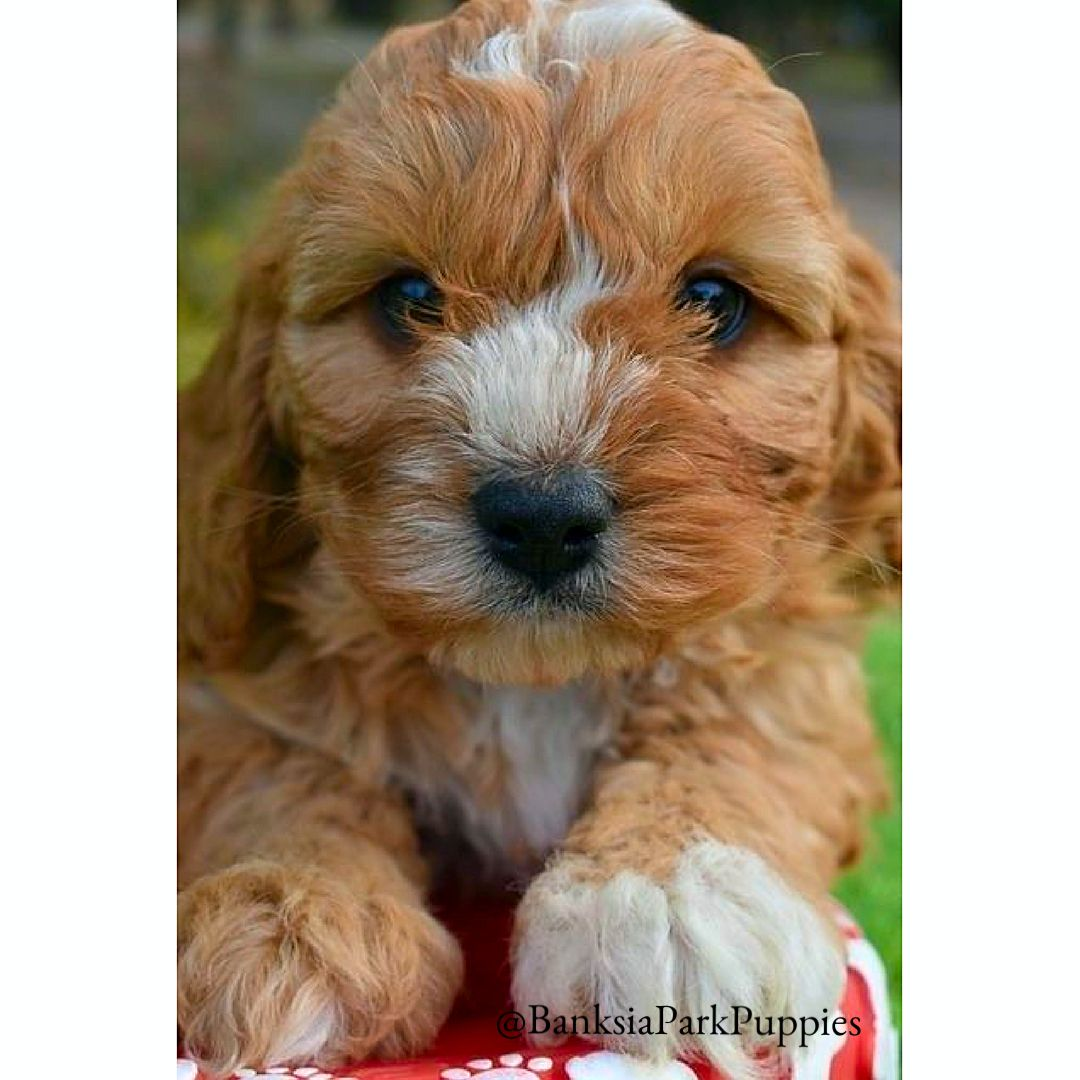 White Sock Cute Puppies Cavalier King Charles Spaniel