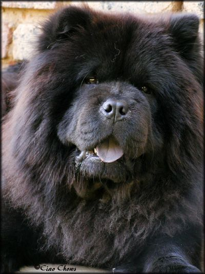 Chow Chows And Children Google Search Pets Black Chow Chow