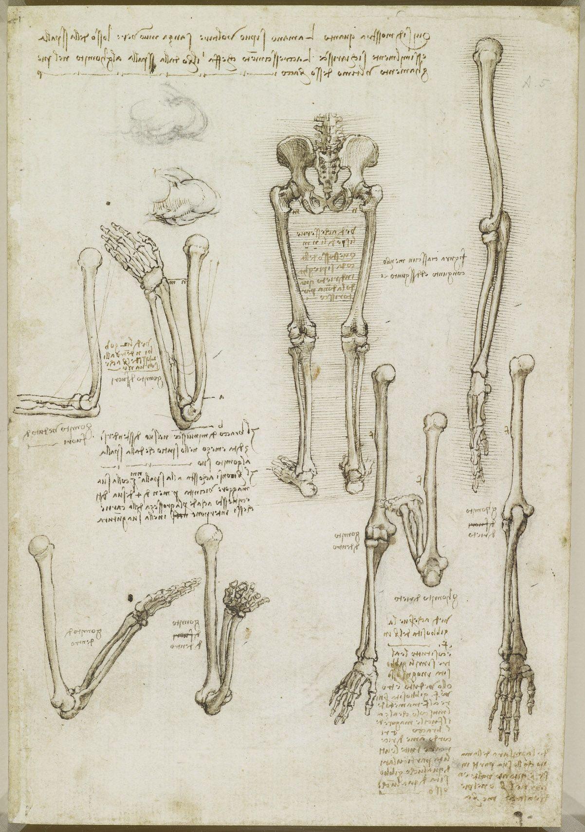 Leonardo da Vinci, 1452-1519, Italian, The bones of the arm and leg ...
